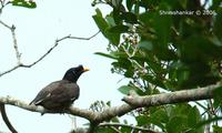 First time got to see these Jungle Myna. (Acridotheres fuscus)