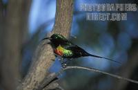 Beautiful sunbird ( Cinnyris pulchellus ) , Lake Baringo , Kenya stock photo