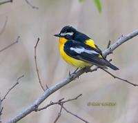 Yellow-rumped flycatcher C20D 03606.jpg