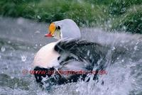 FT0198-00: King Eider male bird. Somateria spectabilis washing and splashing. Arctic