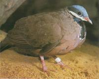 Blue-headed Quail Dove Starnoenas cyanocephala