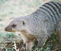 Mungus Mungo Banded Mongoose photo