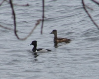 : Aythya collaris; Ring-necked Duck