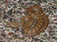 : Acanthophis wellsi; Pilbara Death Adder