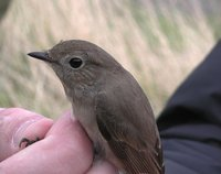 Taiga Flycatcher - Paul Sclater
