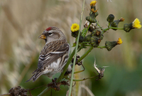 Common Redpoll Photograph by Mark Breaks