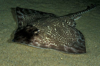 Raja clavata, Thornback ray: fisheries, gamefish, aquarium