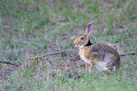 Image of: Lepus nigricollis (Indian hare)