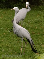 Anthropoides paradisea - Blue Crane