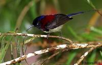 Image of: Aethopyga saturata (black-throated sunbird)