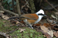 Image of: Garrulax leucolophus (white-crested laughing-thrush)