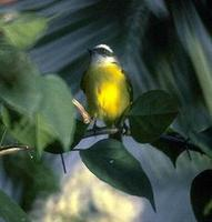 Image of: Myiozetetes similis (social flycatcher)