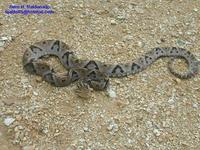 Image of: Bothrops asper (fer-de-lance)