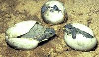 Image of: Graptemys geographica (common map turtle)
