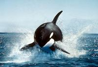 Photo: Killer whale breaching