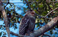 Spot-bellied Eagle Owl - Bubo nipalensis