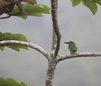 Blue-throated Toucanet (Aulacorhynchus prasinus) photo