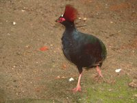 Crested Partridge - Rollulus rouloul