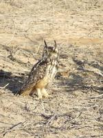 Rock Eagle-Owl - Bubo bengalensis