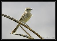 Long-tailed Mockingbird - Mimus longicaudatus