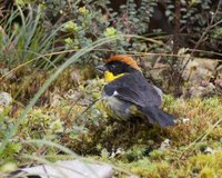 Yellow-breasted Brush-Finch - Atlapetes latinuchus