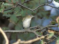 Red-eyed vireo, Chivi Vireo