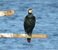 민물가마우지 Great Cormorant Phalacrocorax carbo