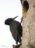 Black Woodpecker Drycopus martius 까막딱따구리