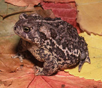 Wyoming-Toad-pic.jpg