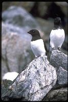 : Alle alle; Little Auk