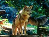 : Canis lupus baileyi; Mexican Gray Wolf