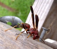 : Polistes carolina; Red Wasp, Red Paper Wasp