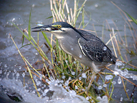 검은댕기해오라기 Butorides striatus | green-backed heron