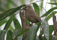 カオジロガビチョウ White-browed Laughingthrush Garrulax sannio