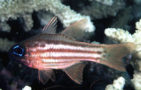 Apogon compressus, Ochre-striped cardinalfish: aquarium