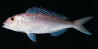 Nemipterus furcosus, Fork-tailed threadfin bream: fisheries