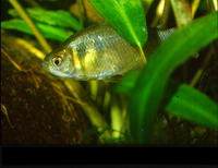 Gymnocorymbus thayeri, False black tetra: aquarium
