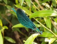 Calopteryx virgo - Beautiful Demoiselle