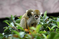 Image of: Saimiri sciureus (South American squirrel monkey)