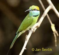 Merops orientalis - Little Green Bee-eater