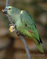 Amazona aestiva - Blue-fronted Parrot