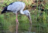 Image of: Anastomus oscitans (Asian openbill)