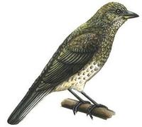 Image of: Indicator variegatus (scaly-throated honeyguide)