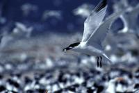 Image of: Sterna sandvicensis (Sandwich tern)