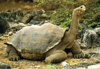 Photo: An endangered Galápagos tortoise with neck outstretched