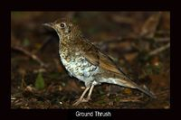 Ground Thrush