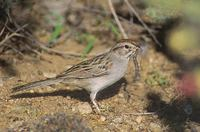 Rufous-winged Sparrow (Aimophila carpalis) photo