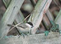 Marsh Tit (Parus palustris) photo