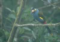 Plate-billed Mountain-Toucan (Andigena laminirostris) photo