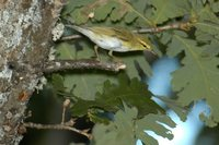 Wood Warbler - Phylloscopus sibilatrix